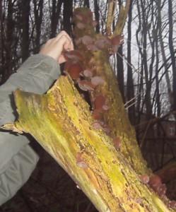 Mit einem Küchenmesser werden die Pilze vorsichtig vom Stamm gelöst.