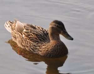 weibliche Ente